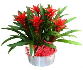 5 adet guzmanya saksı çiçeği  Ankara ostim çiçek gönderme sitemiz güvenlidir