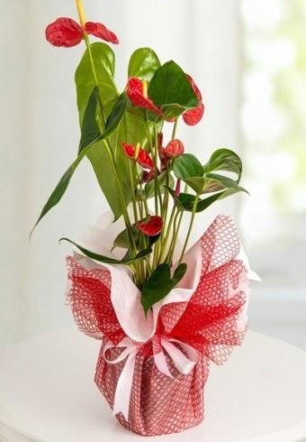 Anthurium Saksı Çiçeği  Ankara ivedik hediye çiçek yolla