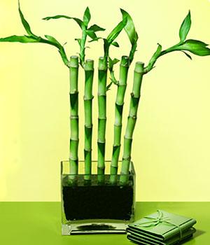 Ankara anneler günü çiçek yolla  Good Harmony Lucky Bamboo camda