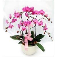 Ankara hacettepe çiçek mağazası , çiçekçi adresleri  3 adet saksi da orkide - yerli ege cins -