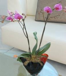 Ankara gazi mahallesi çiçekçi mağazası  tek dal ikili orkide saksi çiçegi