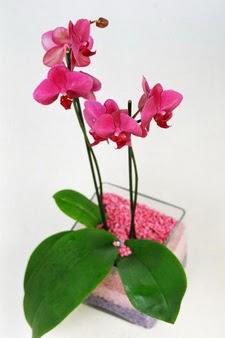 Ankara gazi mahallesi çiçekçi mağazası  tek dal cam yada mika vazo içerisinde orkide