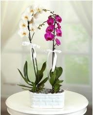 1 dal beyaz 1 dal mor yerli orkide saksıda  Ankara ümitköy çiçek servisi , çiçekçi adresleri
