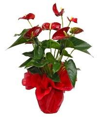 Görsel antoryum saksı çiçeği  Ankara yenimahalle online çiçek gönderme sipariş