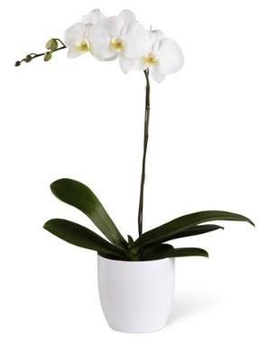 1 dallı beyaz orkide  Ankara 14 şubat sevgililer günü çiçek