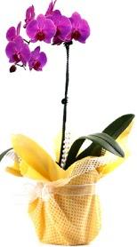 Ankara lalegül çiçek siparişi sitesi  Tek dal mor orkide saksı çiçeği