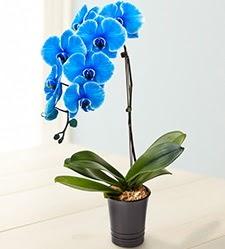 1 dallı süper eşsiz mavi orkide  Ankara hacettepe çiçek mağazası , çiçekçi adresleri