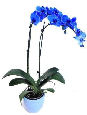 Seramikli 2 dallı süper eşsiz mavi orkide  Ankara ümitköy çiçek servisi , çiçekçi adresleri