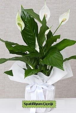Spatifilyum Orta boy Saksı çiçeği  Ankara anneler günü çiçek yolla
