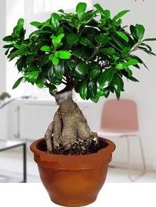 5 yaşında japon ağacı bonsai bitkisi  Ankara yenimahalle online çiçek gönderme sipariş