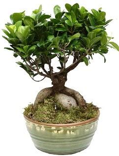 Japon ağacı bonsai saksı bitkisi  Ankara yenimahalle İnternetten çiçek siparişi