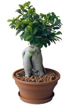 Japon ağacı bonsai saksı bitkisi  Ankara sincan çiçek gönderme