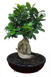 Japon ağacı bonsai saksı bitkisi  Ankara demetevler ucuz çiçek gönder