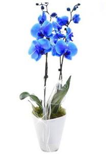 2 dallı AŞILI mavi orkide  Ankara gimat çiçek satışı