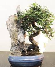 Japon ağacı bonsai saksı bitkisi satışı  Ankara karacakaya internetten çiçek satışı