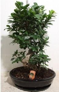 75 CM Ginseng bonsai Japon ağacı  Ankara ivedik hediye çiçek yolla
