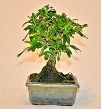 Zelco bonsai saksı bitkisi  Ankara ümitköy çiçek servisi , çiçekçi adresleri