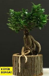 Kütük içerisinde Bonsai japon ağacı  Ankara şentepe internetten çiçek siparişi