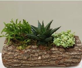 Doğal ahşap kütük içerisinde 3 kaktüs  Ankara şentepe internetten çiçek siparişi