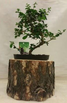 Doğal kütük içinde bonsai japon ağacı  Ankara yenimahalle İnternetten çiçek siparişi