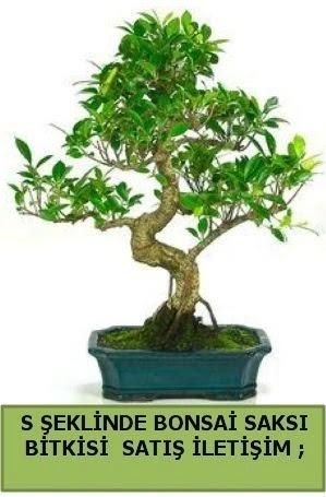 İthal S şeklinde dal eğriliği bonsai satışı  Ankara sincan çiçek gönderme