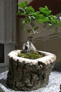 Ahşap kütük içerisinde ginseng bonsai  Ankara şentepe internetten çiçek siparişi