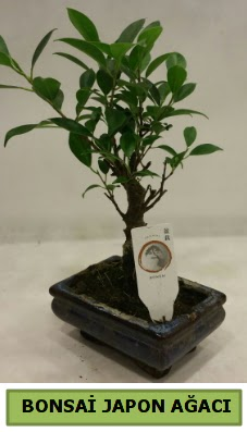 Bonsai japon ağacı saksı bitkisi  Ankara ümitköy çiçek servisi , çiçekçi adresleri