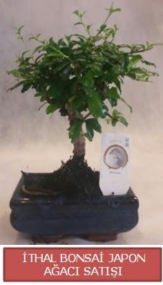 İthal küçük boy minyatür bonsai ağaç bitkisi  Ankara eryaman çiçekçi telefonları