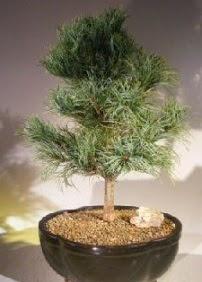 Çam ağacı bonsai bitkisi satışı  Ankara demetevler ucuz çiçek gönder