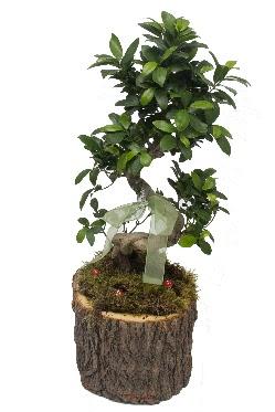 Doğal kütükte bonsai saksı bitkisi  Ankara yenimahalle İnternetten çiçek siparişi