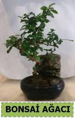 Bonsai ağacı japon ağacı satışı  Ankara ivedik hediye çiçek yolla