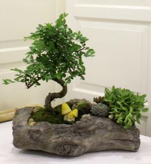 Ağaç kütük içerisinde bonsai ve sukulent  Ankara ostim çiçek gönderme sitemiz güvenlidir