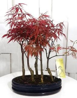 5 adet japon akçaağaç bonsai çiçeği  Ankara gimat çiçek satışı