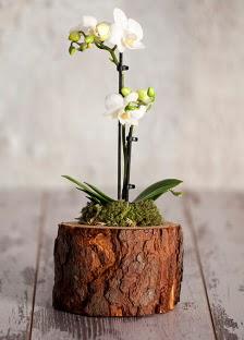 Doğal kütük 2 dallı beyaz orkide  Ankara batıkent çiçek yolla