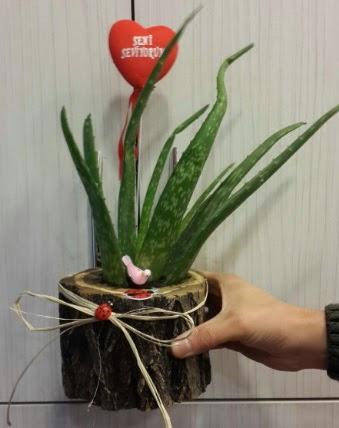 Kütük içerisinde alovera çiçeği bitkisi  Ankara eryaman çiçekçi telefonları