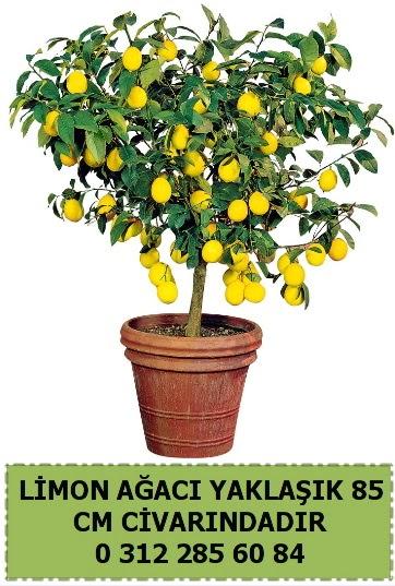 Limon ağacı bitkisi  Ankara gimat çiçek satışı