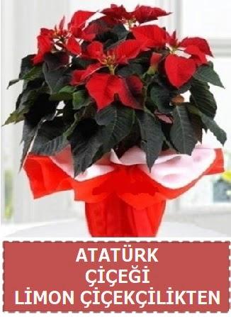 Atatürk çiçeği saksı bitkisi  Ankara gimat çiçek satışı