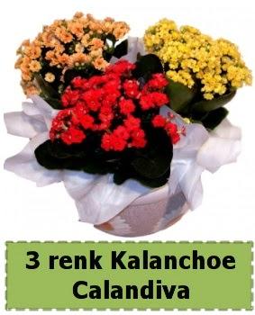 3 renk Kalanchoe Calandiva saksı bitkisi  Ankara sincan çiçek gönderme