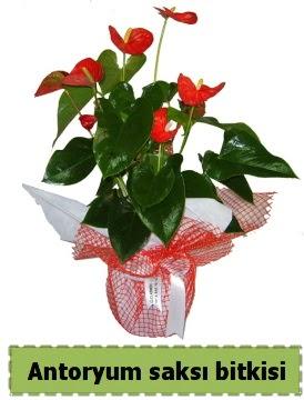 Antoryum saksı bitkisi büyük boy satışı  Ankara etimesgut çiçek , çiçekçi , çiçekçilik