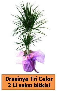 Dresinya Tri Color 2 li saksı bitkisi çiçeği  Ankara gimat çiçek satışı