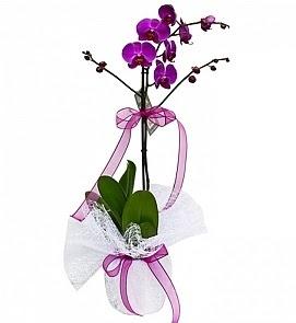 Tek dallı saksıda ithal mor orkide çiçeği  Ankara macunköy çiçekçiler