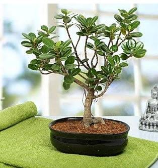 Lovely Ficus Iceland Bonsai  Ankara anneler günü çiçek yolla