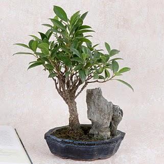 Japon ağacı Evergreen Ficus Bonsai  Ankara ostim çiçek gönderme sitemiz güvenlidir