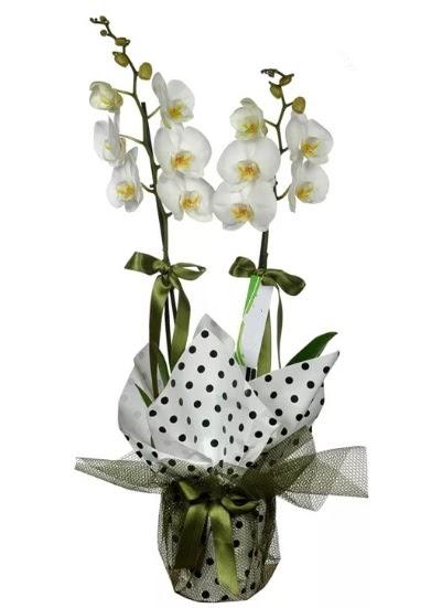Çift Dallı Beyaz Orkide  Ankara 14 şubat sevgililer günü çiçek