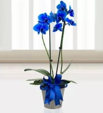 Çift dallı mavi orkide  Ankara gimat çiçek satışı