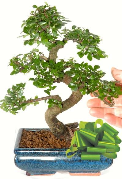 Yaklaşık 25 cm boyutlarında S bonsai  Ankara lalegül çiçek siparişi sitesi