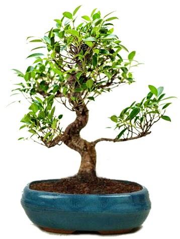 25 cm ile 30 cm aralığında Ficus S bonsai  Ankara ostim çiçek gönderme sitemiz güvenlidir