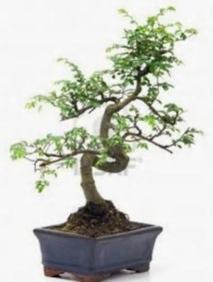 S gövde bonsai minyatür ağaç japon ağacı  Ankara gimat çiçek satışı