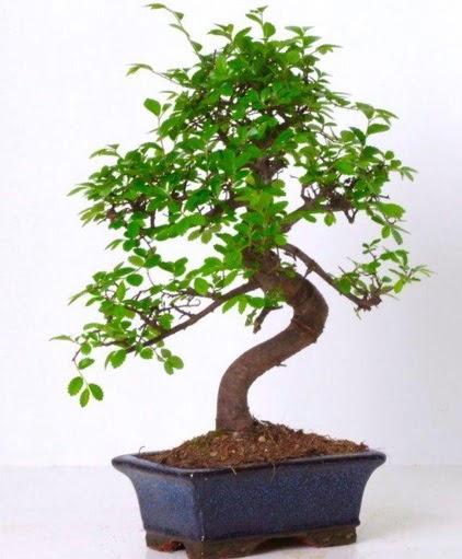 S gövdeli bonsai minyatür ağaç japon ağacı  Ankara ostim çiçek gönderme sitemiz güvenlidir