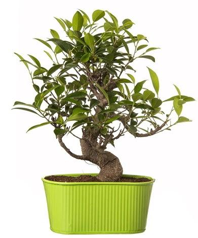 Ficus S gövdeli muhteşem bonsai  Ankara lalegül çiçek siparişi sitesi